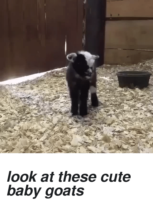 Baby Goats: <h2><i>look at these cute baby goats</i></h2>