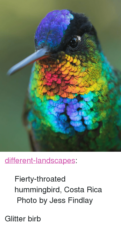 "Costa Rica: <p><a href=""https://different-landscapes.tumblr.com/post/174190471199/fierty-throated-hummingbird-costa-rica-photo-by"" class=""tumblr_blog"">different-landscapes</a>:</p>  <blockquote><p>Fierty-throated hummingbird, Costa Rica  Photo by Jess Findlay</p></blockquote>  <p>Glitter birb</p>"