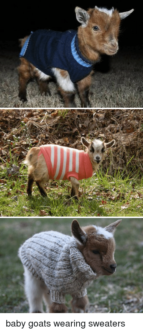 Baby Goats: <p>baby goats wearing sweaters</p>