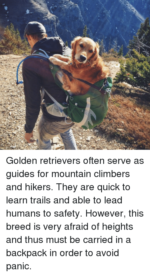 Afraid Of Heights: <p>Golden retrievers often serve as guides for mountain climbers and hikers. They are quick to learn trails and able to lead humans to safety. However, this breed is very afraid of heights and thus must be carried in a backpack in order to avoid panic.<br/></p>