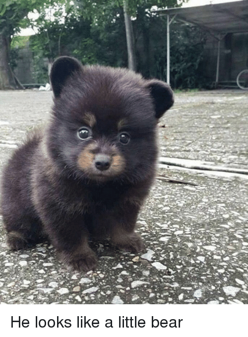 little bear: <p>He looks like a little bear<br/></p>