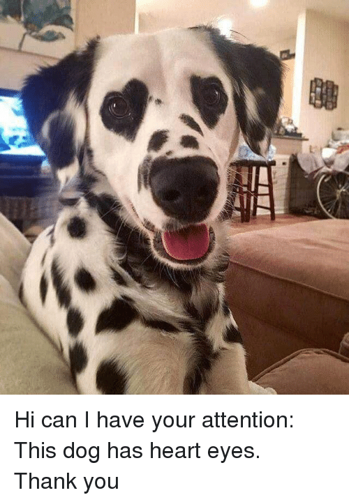 heart-eyes: <p>Hi can I have your attention:<br/>This dog has heart eyes.<br/>Thank you</p>
