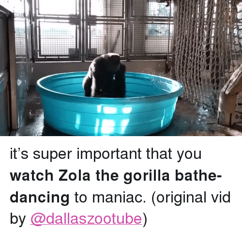 """Zola: <p>it&rsquo;s super important that you <b>watch Zolathe gorilla bathe-dancing</b> to maniac. (original vid by <a href=""""https://www.youtube.com/watch?v=XfS5kBGBh00&amp;feature=youtu.be"""" target=""""_blank"""">@dallaszootube</a>)<br/></p>"""