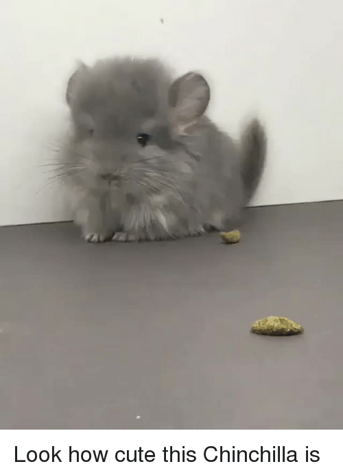 chinchilla: <p>Look how cute this Chinchilla is<br/></p>