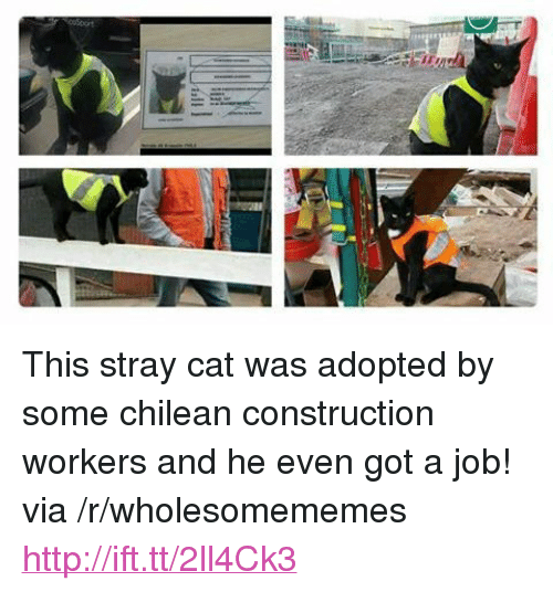 """Chilean: <p>This stray cat was adopted by some chilean construction workers and he even got a job! via /r/wholesomememes <a href=""""http://ift.tt/2ll4Ck3"""">http://ift.tt/2ll4Ck3</a></p>"""