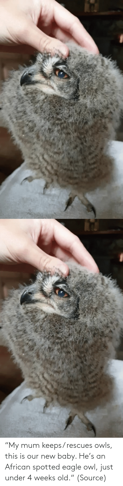 "S: ""My mum keeps/ rescues owls, this is our new baby. He's an African spotted eagle owl, just under 4 weeks old."" (Source)"