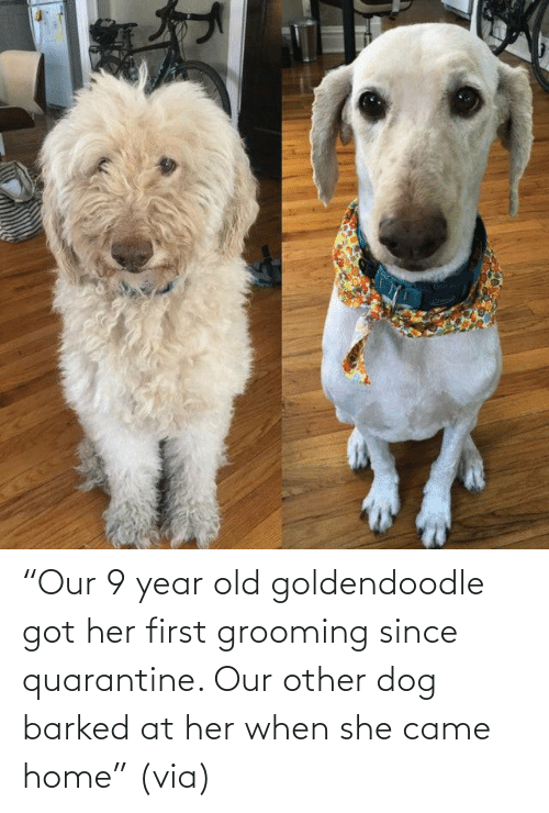 "Dog: ""Our 9 year old goldendoodle got her first grooming since quarantine. Our other dog barked at her when she came home"" (via)"