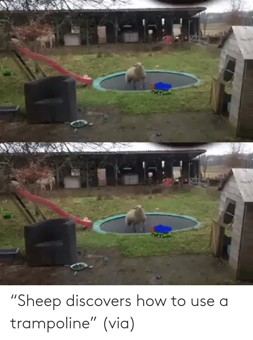 "Trampoline: ""Sheep discovers how to use a trampoline"" (via)"