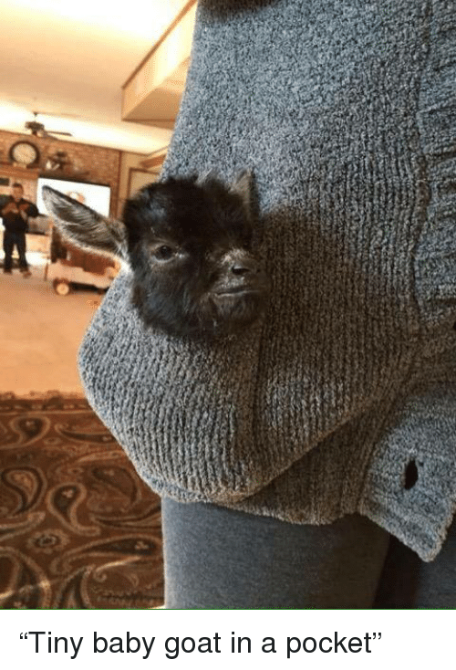 "Memes, Goat, and Baby: ""Tiny baby goat in a pocket"""