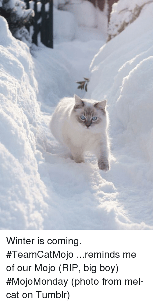 mojos: 乍 Winter is coming.  #TeamCatMojo ...reminds me of our Mojo (RIP, big boy) #MojoMonday  (photo from mel-cat on Tumblr)