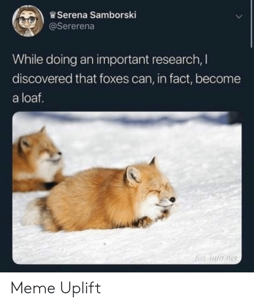 foxes: .)曾Serena Samborski  @Sererena  While doing an important research, I  discovered that foxes can, in fact, become  a loaf. Meme Uplift