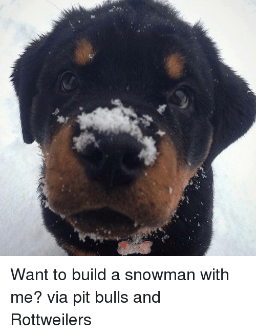 Memes, Bulls, and 🤖: 꽃 Want to build a snowman with me? via pit bulls and Rottweilers