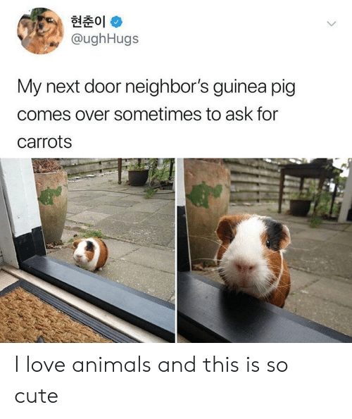 guinea: 현춘01 *  @ughHugs  My next door neighbor's guinea pig  comes over sometimes to ask for  carrots I love animals and this is so cute
