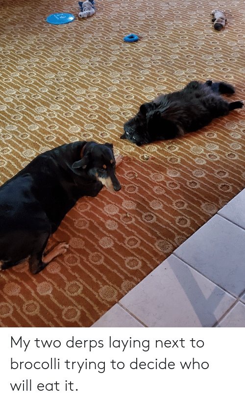 brocolli: 0/0//0 My two derps laying next to brocolli trying to decide who will eat it.