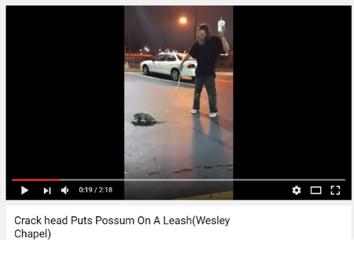 Possum On A Leash