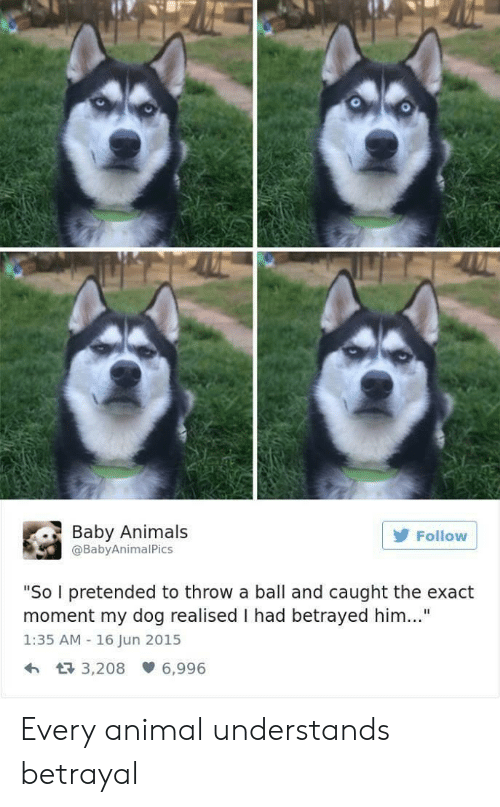 """Baby Animals: 0  Baby Animals  @BabyAnimalPics  Follow  """"So I pretended to throw a ball and caught the exact  moment my dog realised I had betrayed him..""""  1:35 AM 16 Jun 2015  h 3,208 6,996 Every animal understands betrayal"""