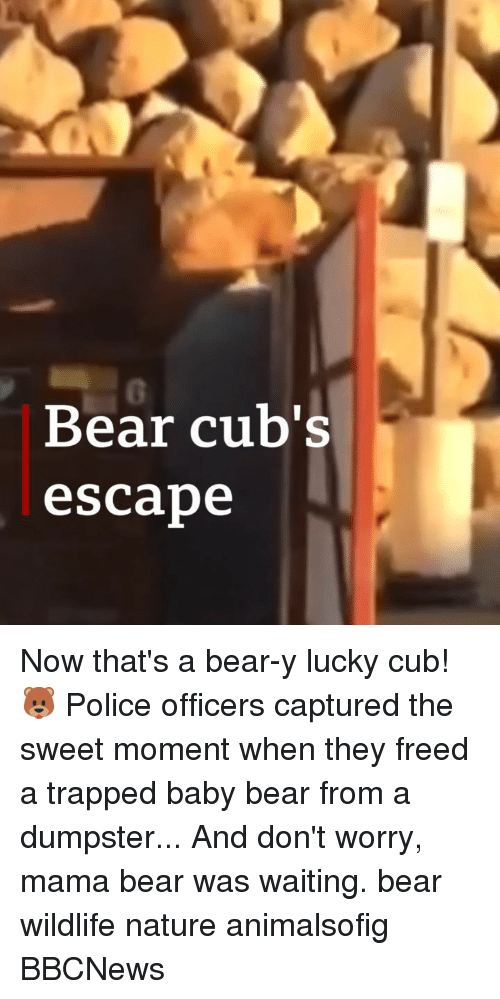 mama bear: 0  Bear cub's  escabe Now that's a bear-y lucky cub! 🐻 Police officers captured the sweet moment when they freed a trapped baby bear from a dumpster... And don't worry, mama bear was waiting. bear wildlife nature animalsofig BBCNews