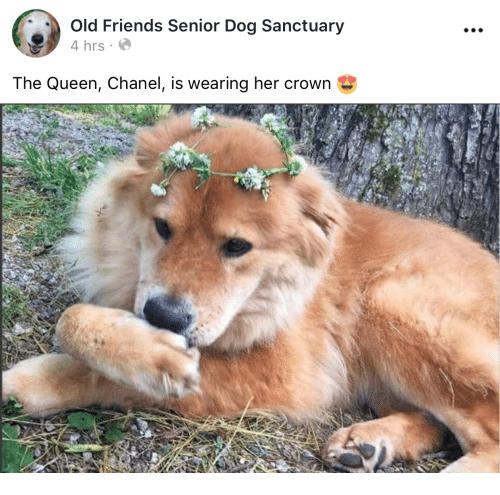 old friends: 0  Old Friends Senior Dog Sanctuary  4 hrs  The Queen, Chanel, is wearing her crown