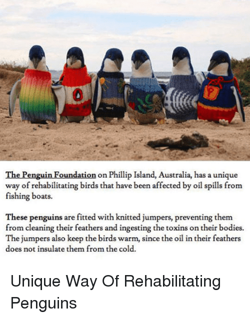 Bodies , The Penguin, and Australia: 0  The Penguin Foundation on Phillip Island, Australia, has a unique  way of rehabilitating birds that have been affected by oil spills fronm  fishing boats.  These penguins are fitted with knitted jumpers, preventing them  from cleaning their feathers and ingesting the toxins on their bodies.  The jumpers also keep the birds warm, since the oil in their feathers  does not insulate them from the cold. Unique Way Of Rehabilitating Penguins