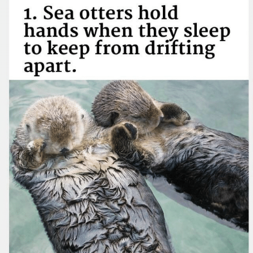 Otters: 1. Sea otters hold  hands when thev sleep  to keep from drifting  apart.