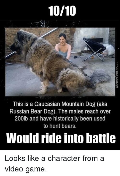 Dogs, Memes, and Caucasian: 10/10  This is a Caucasian Mountain Dog (aka  Russian Bear Dog). The males reach over  200lb and have historically been used  to hunt bears.  Would ride into battle Looks like a character from a video game.