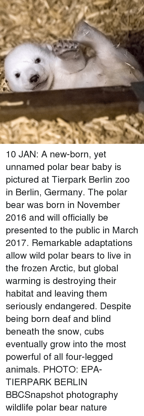 Anime Photo: 10 JAN: A new-born, yet unnamed polar bear baby is pictured at Tierpark Berlin zoo in Berlin, Germany. The polar bear was born in November 2016 and will officially be presented to the public in March 2017. Remarkable adaptations allow wild polar bears to live in the frozen Arctic, but global warming is destroying their habitat and leaving them seriously endangered. Despite being born deaf and blind beneath the snow, cubs eventually grow into the most powerful of all four-legged animals. PHOTO: EPA-TIERPARK BERLIN BBCSnapshot photography wildlife polar bear nature