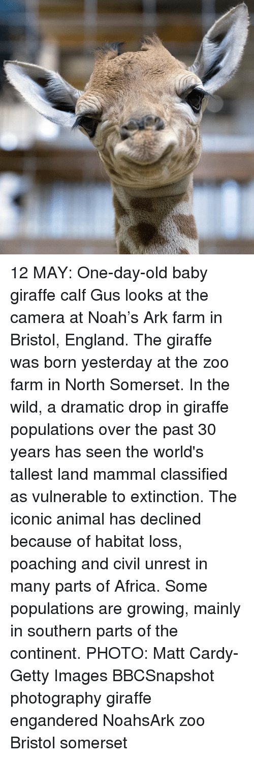 Africa, England, and Memes: 12 MAY: One-day-old baby giraffe calf Gus looks at the camera at Noah's Ark farm in Bristol, England. The giraffe was born yesterday at the zoo farm in North Somerset. In the wild, a dramatic drop in giraffe populations over the past 30 years has seen the world's tallest land mammal classified as vulnerable to extinction. The iconic animal has declined because of habitat loss, poaching and civil unrest in many parts of Africa. Some populations are growing, mainly in southern parts of the continent. PHOTO: Matt Cardy-Getty Images BBCSnapshot photography giraffe engandered NoahsArk zoo Bristol somerset