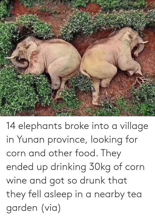 Wine: 14 elephants broke into a village in Yunan province, looking for corn and other food. They ended up drinking 30kg of corn wine and got so drunk that they fell asleep in a nearby tea garden (via)
