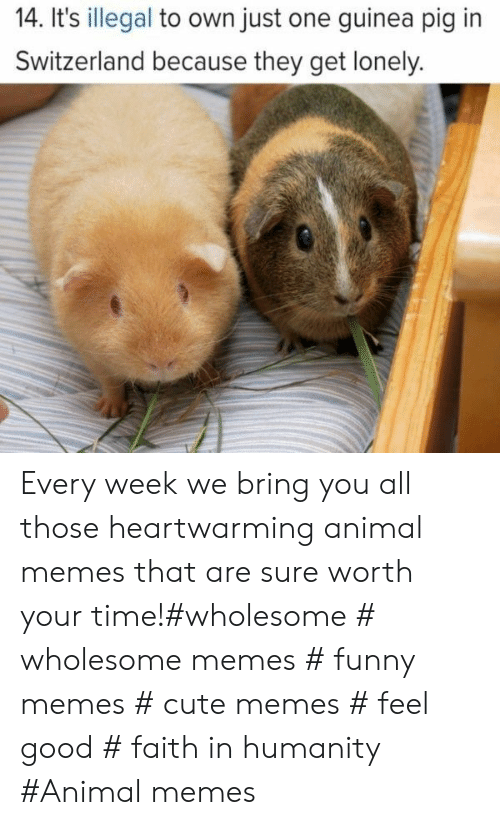 guinea: 14. It's illegal to own just one guinea pig in  Switzerland because they get lonely. Every week we bring you all those heartwarming animal memes that are sure worth your time!#wholesome # wholesome memes # funny memes # cute memes # feel good # faith in humanity #Animal memes