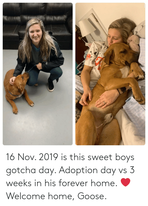 16 Nov: 16 Nov. 2019 is this sweet boys gotcha day. Adoption day vs 3 weeks in his forever home. ❤️ Welcome home, Goose.