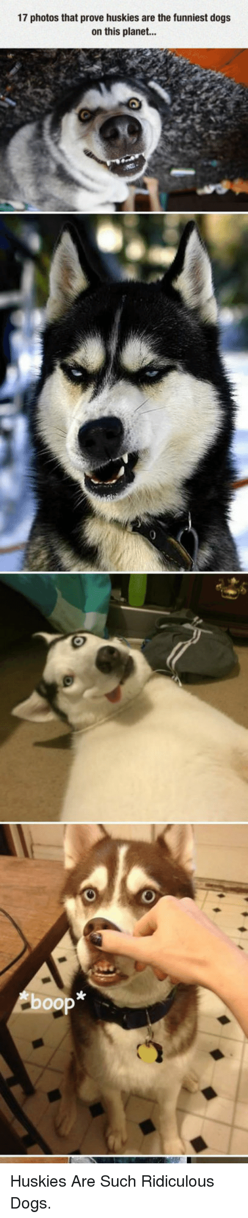 Dogs: 17 photos that prove huskies are the funniest dogs  on this planet. <p>Huskies Are Such Ridiculous Dogs.</p>