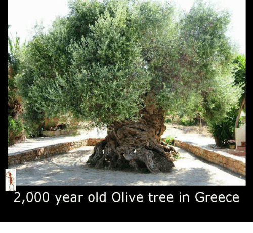 olive tree: 2,000 year old Olive tree in Greece