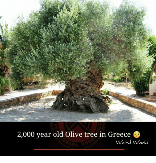 olive tree: 2,000 year old Olive tree in Greece  Weird World