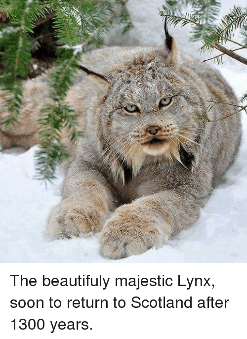 2 the beautifuly majestic lynx soon to return to scotland 4759625 when u open yir first present n it's lynx africa what i've always