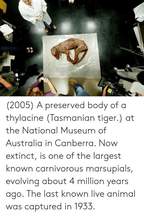 tasmanian tiger: (2005) A preserved body of a thylacine (Tasmanian tiger.) at the National Museum of Australia in Canberra. Now extinct, is one of the largest known carnivorous marsupials, evolving about 4 million years ago. The last known live animal was captured in 1933.