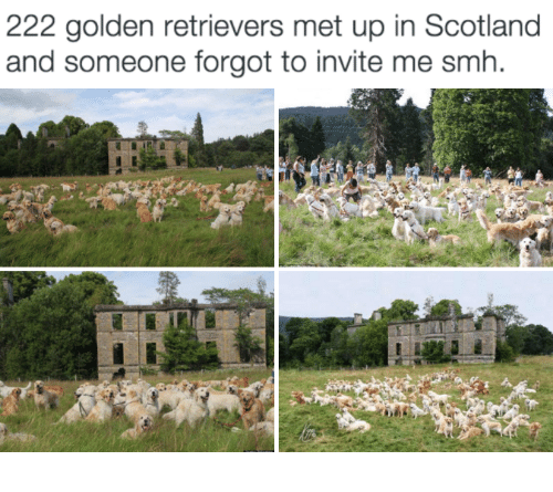invitations: 222 golden retrievers met up in Scotland  and someone forgot to invite me smh.