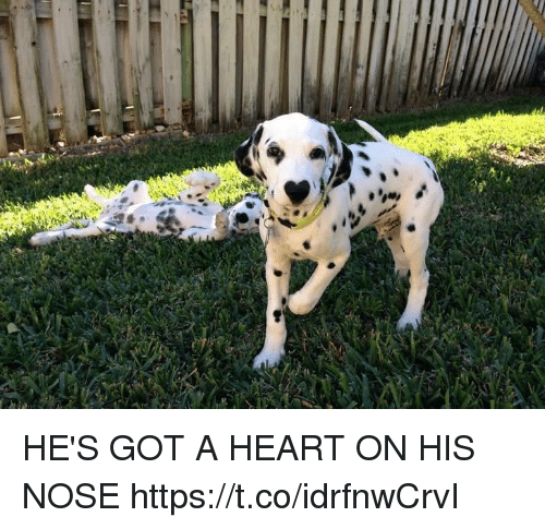 Heart, Girl Memes, and Got: 26,2,4 HE'S GOT A HEART ON HIS NOSE https://t.co/idrfnwCrvI