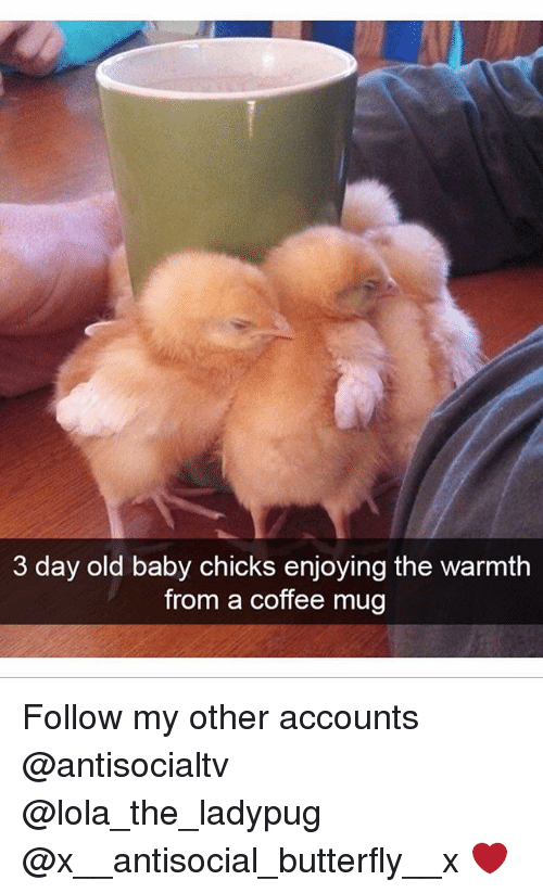 Warmthness: 3 day old baby chicks enjoying the warmth  from a coffee mug Follow my other accounts @antisocialtv @lola_the_ladypug @x__antisocial_butterfly__x ❤️
