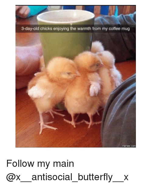 Warmthness: 3-day-old chicks enjoying the warmth from my coffee mug Follow my main @x__antisocial_butterfly__x