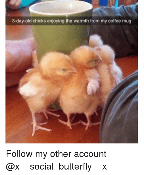 Memes, Butterfly, and Coffee: 3-day-old chicks enjoying the warmth from my coffee mug Follow my other account @x__social_butterfly__x