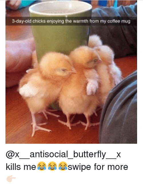 Warmthness: 3-day-old chicks enjoying the warmth from my coffee mug @x__antisocial_butterfly__x kills me😂😂😂swipe for more👉🏻