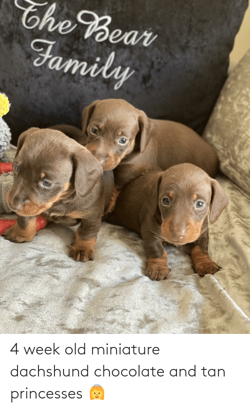 princesses: 4 week old miniature dachshund chocolate and tan princesses 👸