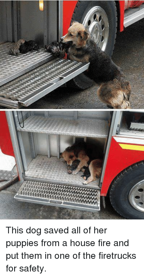 """Girl Memes: $$$$$$ 44444  """"iffatif棘棘兢444444 hw This dog saved all of her puppies from a house fire and put them in one of the firetrucks for safety."""