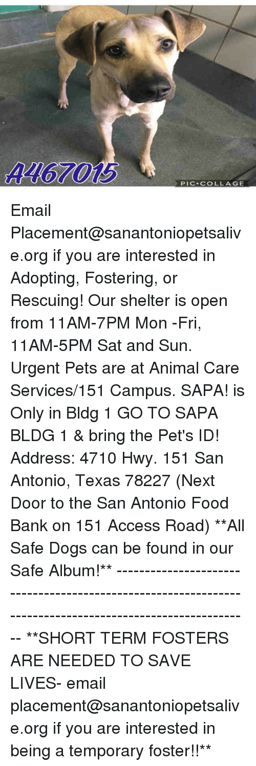 Dogs, Food, and Memes: 4467015  PIC COLLAGE Email Placement@sanantoniopetsalive.org if you are interested in Adopting, Fostering, or Rescuing!  Our shelter is open from 11AM-7PM Mon -Fri, 11AM-5PM Sat and Sun.  Urgent Pets are at Animal Care Services/151 Campus. SAPA! is Only in Bldg 1 GO TO SAPA BLDG 1 & bring the Pet's ID! Address: 4710 Hwy. 151 San Antonio, Texas 78227 (Next Door to the San Antonio Food Bank on 151 Access Road)  **All Safe Dogs can be found in our Safe Album!** ---------------------------------------------------------------------------------------------------------- **SHORT TERM FOSTERS ARE NEEDED TO SAVE LIVES- email placement@sanantoniopetsalive.org if you are interested in being a temporary foster!!**