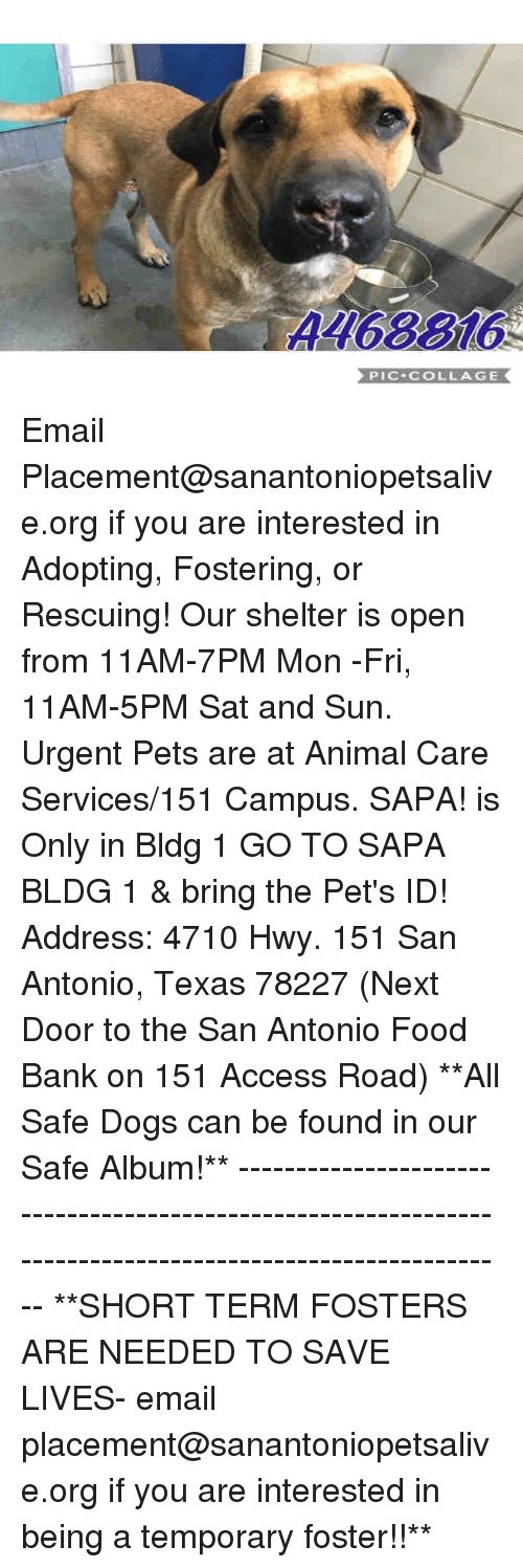 Dogs, Food, and Memes: 4468816  PIC-COLLAGE Email Placement@sanantoniopetsalive.org if you are interested in Adopting, Fostering, or Rescuing!  Our shelter is open from 11AM-7PM Mon -Fri, 11AM-5PM Sat and Sun.  Urgent Pets are at Animal Care Services/151 Campus. SAPA! is Only in Bldg 1 GO TO SAPA BLDG 1 & bring the Pet's ID! Address: 4710 Hwy. 151 San Antonio, Texas 78227 (Next Door to the San Antonio Food Bank on 151 Access Road)  **All Safe Dogs can be found in our Safe Album!** ---------------------------------------------------------------------------------------------------------- **SHORT TERM FOSTERS ARE NEEDED TO SAVE LIVES- email placement@sanantoniopetsalive.org if you are interested in being a temporary foster!!**