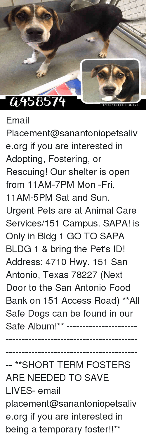 Dogs, Food, and Memes: 458574  PIC-COLLAGE Email Placement@sanantoniopetsalive.org if you are interested in Adopting, Fostering, or Rescuing!  Our shelter is open from 11AM-7PM Mon -Fri, 11AM-5PM Sat and Sun.  Urgent Pets are at Animal Care Services/151 Campus. SAPA! is Only in Bldg 1 GO TO SAPA BLDG 1 & bring the Pet's ID! Address: 4710 Hwy. 151 San Antonio, Texas 78227 (Next Door to the San Antonio Food Bank on 151 Access Road)  **All Safe Dogs can be found in our Safe Album!** ---------------------------------------------------------------------------------------------------------- **SHORT TERM FOSTERS ARE NEEDED TO SAVE LIVES- email placement@sanantoniopetsalive.org if you are interested in being a temporary foster!!**