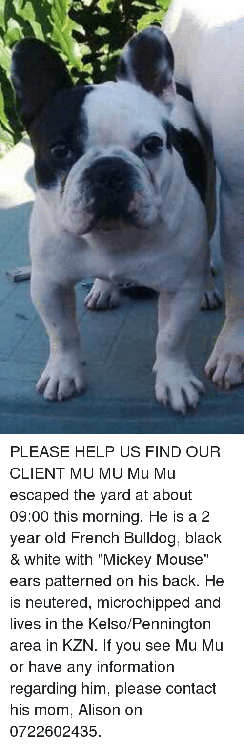 "Memes, Black, and Bulldog: 4yfē PLEASE HELP US FIND OUR CLIENT MU MU Mu Mu escaped the yard at about 09:00 this morning.  He is a 2 year old French Bulldog, black & white with ""Mickey Mouse"" ears patterned on his back.  He is neutered, microchipped and lives in the Kelso/Pennington area in KZN.    If you see Mu Mu or have any information regarding him, please contact his mom, Alison on 0722602435."