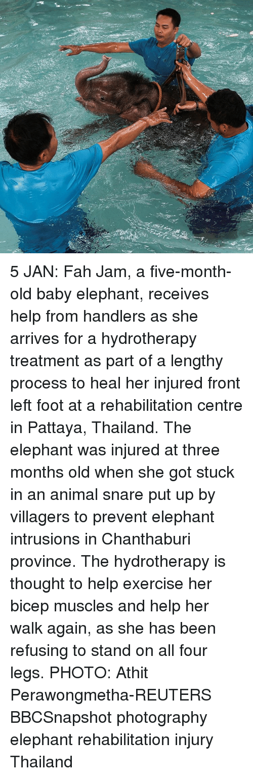 Memes, Elephant, and Exercise: 5 JAN: Fah Jam, a five-month-old baby elephant, receives help from handlers as she arrives for a hydrotherapy treatment as part of a lengthy process to heal her injured front left foot at a rehabilitation centre in Pattaya, Thailand. The elephant was injured at three months old when she got stuck in an animal snare put up by villagers to prevent elephant intrusions in Chanthaburi province. The hydrotherapy is thought to help exercise her bicep muscles and help her walk again, as she has been refusing to stand on all four legs. PHOTO: Athit Perawongmetha-REUTERS BBCSnapshot photography elephant rehabilitation injury Thailand