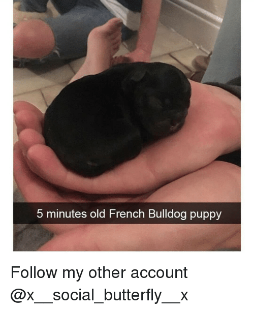 french bulldog: 5 minutes old French Bulldog puppy Follow my other account @x__social_butterfly__x