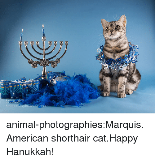 happy hanukkah: 50  238959471 animal-photographies:Marquis. American shorthair cat.Happy Hanukkah!